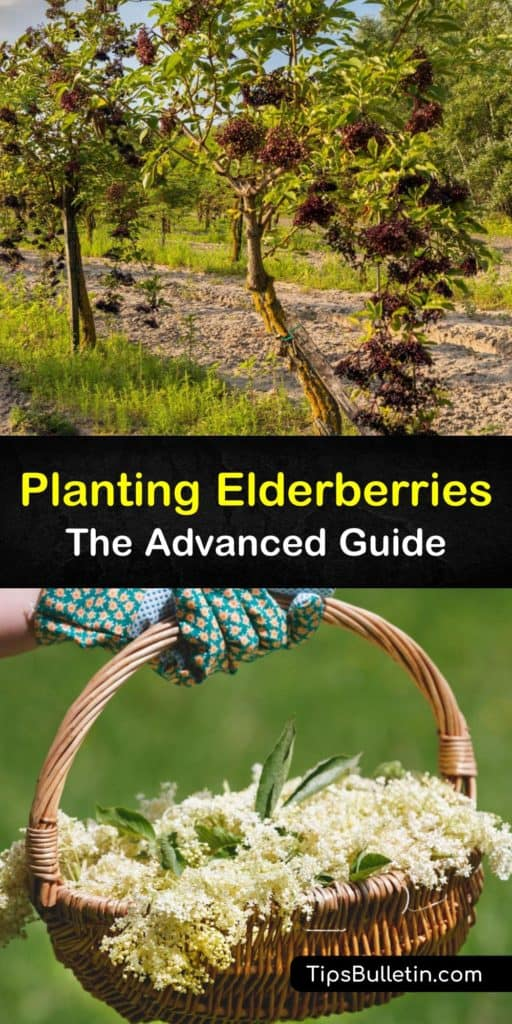 Find out about planting American elderberry (Sambucus canadensis) and European elderberry (Sambucus nigra). Most elderberry cultivars are suited for full sun to partial shade. Protect their shallow roots with mulch, and don't prune in the first year. #planting #elderberry #bushes