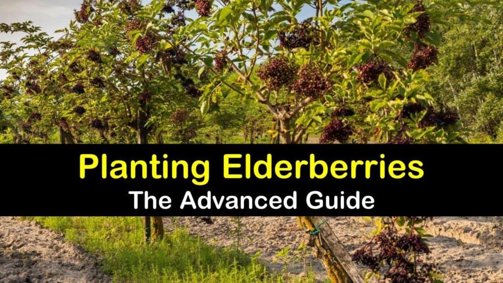 How to Plant Elderberries titleimg1