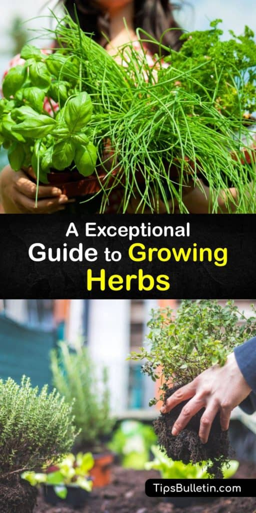 Growing herbs is easy and highly rewarding. Fresh herbs are part of many Asian and Mediterranean dishes. Plant perennial or annual herbs in rich, well-draining potting soil where they get full sun. Herb plants like cilantro and mint grow in partial shade. #planting #herbs #gardening