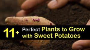 Sweet Potato Companion Plant titleimg1