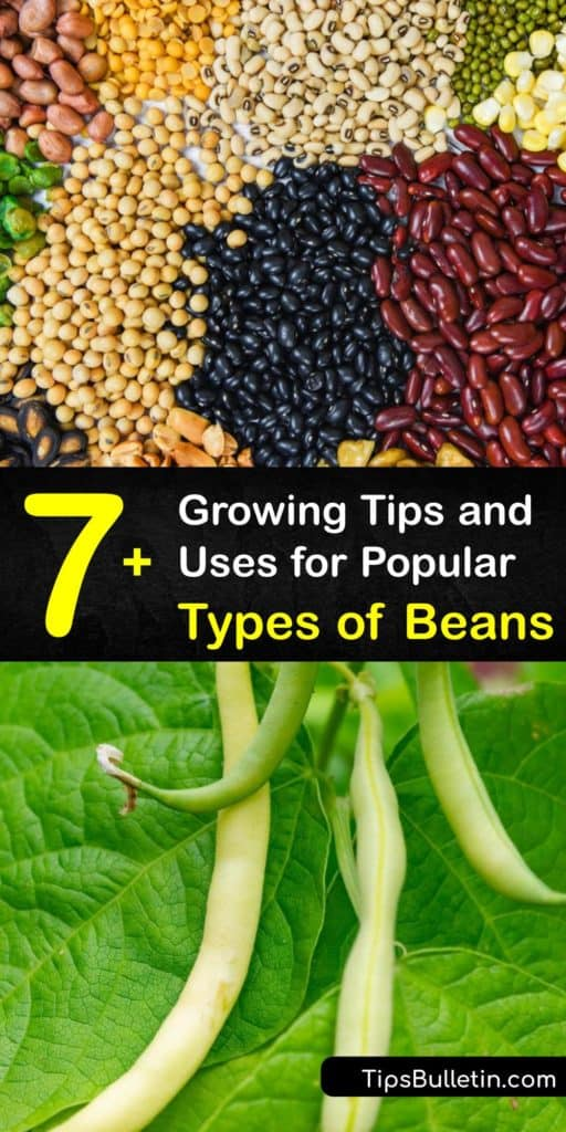 Learn about the different types of beans, from pinto beans and fava beans to red beans, to make everything from hummus to refried beans. We discuss which ones are the most popular, their flavor and texture, and how to grow them in your own garden. #varieties #beans #growing