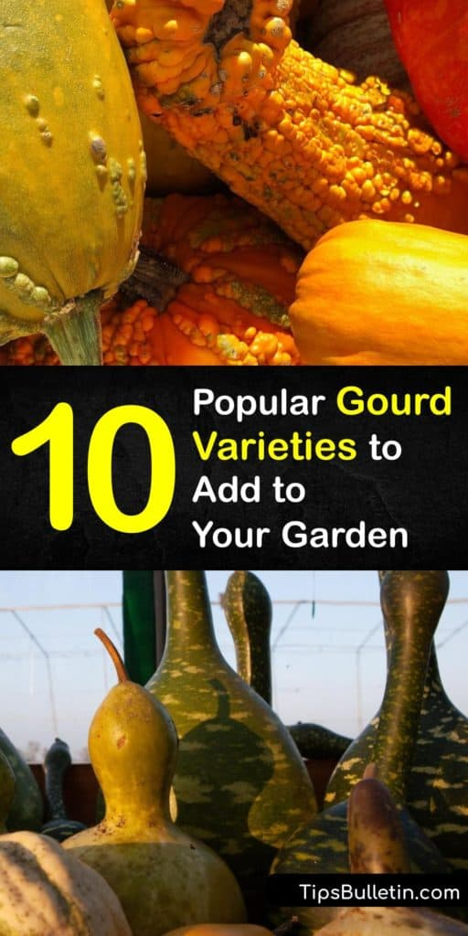 Become instantly amazed and the versatility of cucurbits like the luffa, Lagenaria siceraria, and dipper types of gourds. Discover how to grow Cucurbitaceae plants with a trellis and turn ornamental gourds into more than just birdhouses and bowls. #types #gourds #varieties