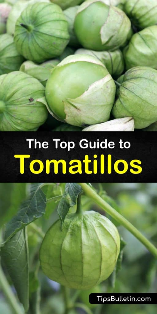 Educate yourself on tomatillos from Mexico, called the little tomato, and why they look like green tomatoes, about the papery husk, and other members of the nightshade family. Use fresh tomatillos for Spanish dishes to cook enchiladas, salsa verde, and more. #vegetable #tomatillo #plants