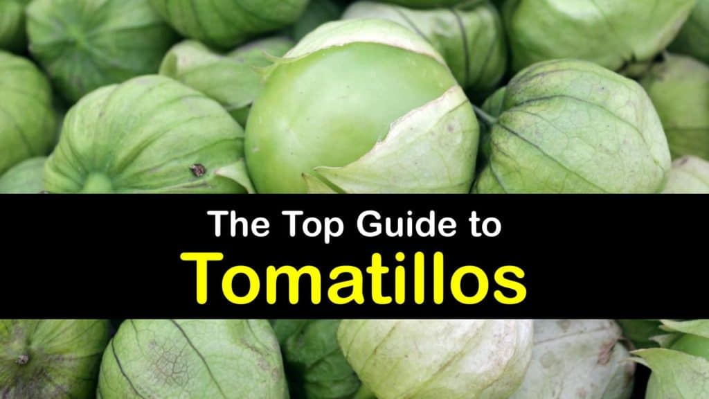 What is a Tomatillo titleimg1