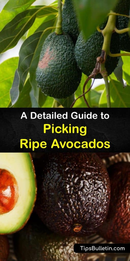 Find out all about harvesting avocados, how to check for ripeness, and the best storage methods. Put unripe avocados in a brown paper bag at room temperature with other ethylene-producing fruits to speed the ripening process. #avocado #harvesting #picking