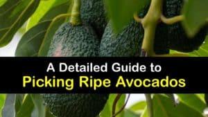 When to Pick Avocados titleimg1