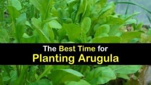 When to Plant Arugula titleimg1