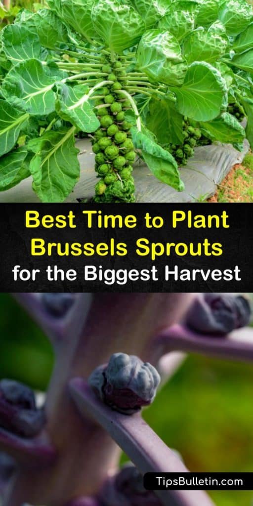 Embrace the Brussels sprouts or Brassica oleracea and learn the timing for transplanting these cool weather crops. Use our tips on spacing, mulch, and avoiding problems with cabbage worms, cabbage loopers, and clubroot for a smooth growing season. #when #plant #brusselssprouts