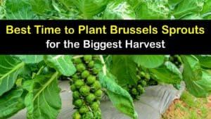 When to Plant Brussels Sprouts titleimg1