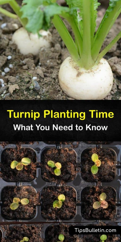 Find out when to plant turnips to enjoy turnip greens and roots throughout the growing season. This biennial prefers full sun and cool weather. Discover the best turnip planting time and how to protect your plants from pests like aphids and flea beetles. #turnips #planting #time