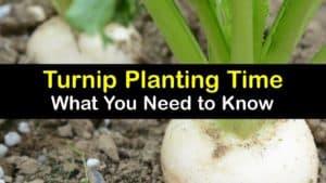 When to Plant Turnips titleimg1