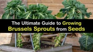 How to Grow Brussels Sprouts from Seed titleimg1