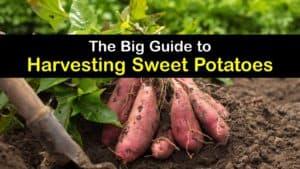 How to Harvest Sweet Potatoes titleimg1